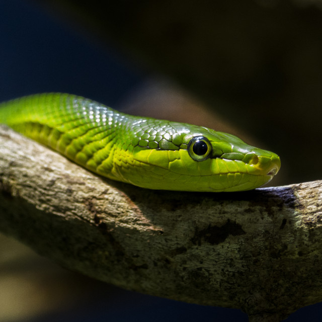 """Red-tailed Green Ratsnake"" stock image"