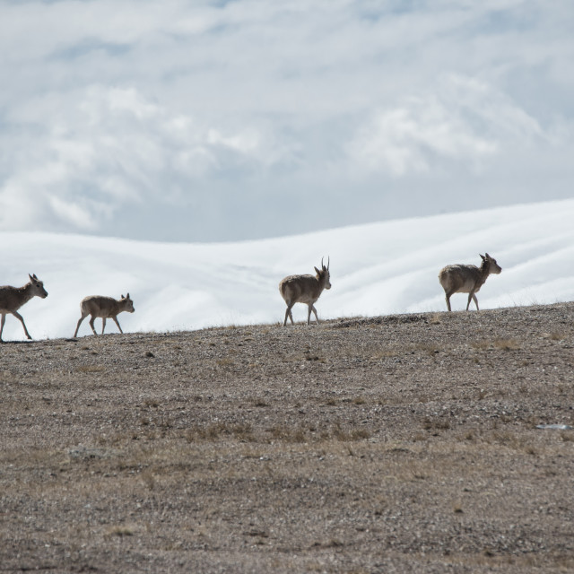 """Tibetan antelopes in KOKOHILI,Tibet,China"" stock image"