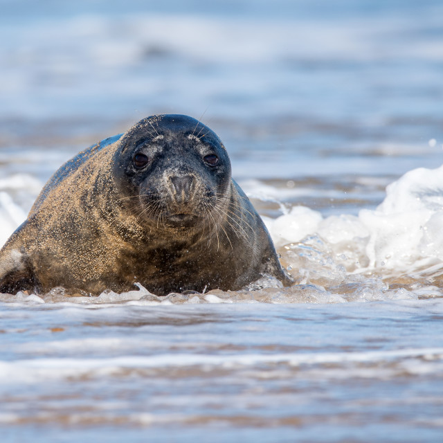 """Grey Seal.. Into the Surf"" stock image"