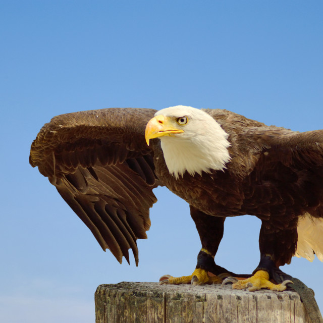 """American sea eagle"" stock image"