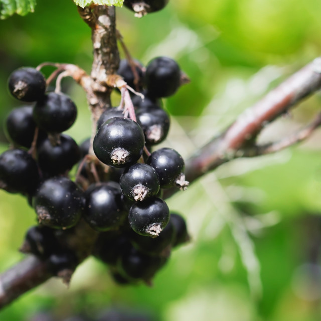 """Black currant on a branch"" stock image"