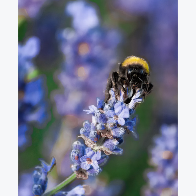 """Bee In Lavender"" stock image"