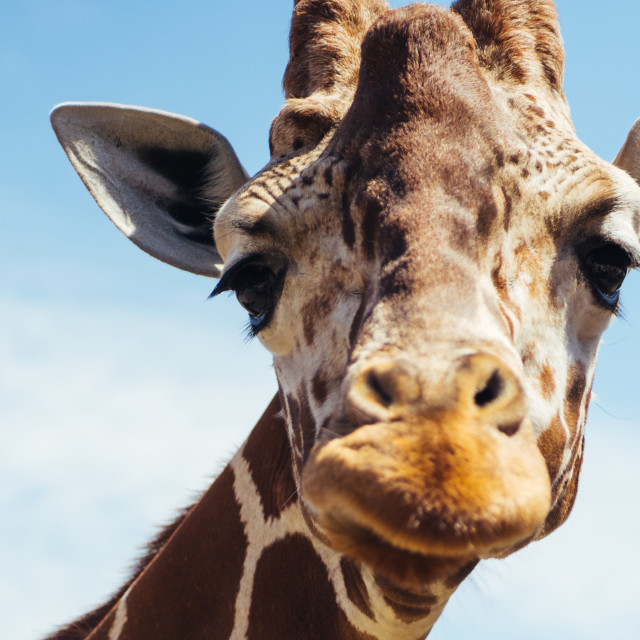 """Cute Giraffe Closeup"" stock image"