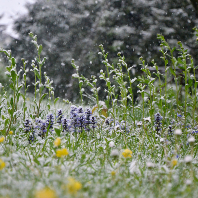 """Flowers In the Snow"" stock image"