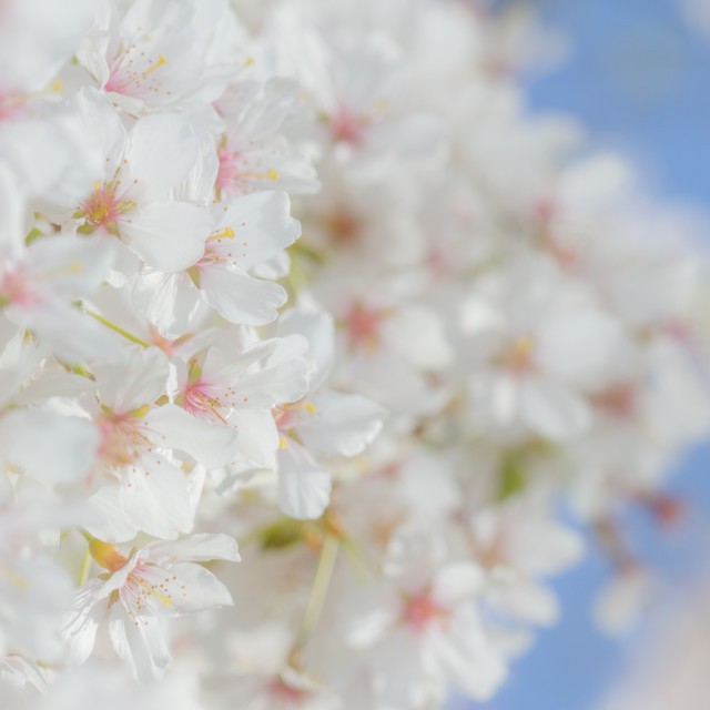 """Cherry blossom in the spring sunshine"" stock image"