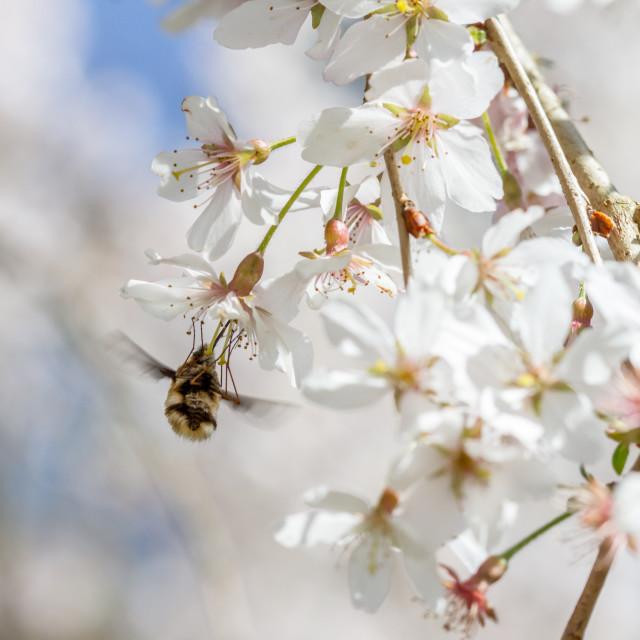"""Bee Fly (Bombylius major)"" stock image"