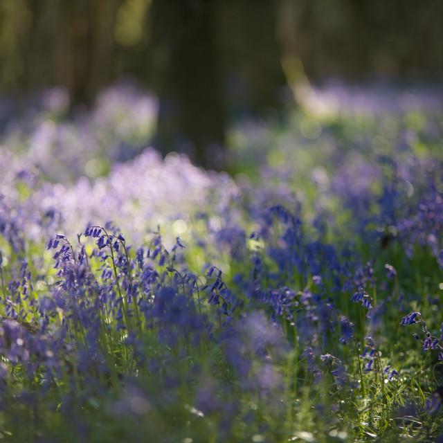 """Bluebells - Gaston Woods"" stock image"