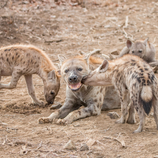 """Spotted hyena cubs with mother Hyena in the Kruger National Park"" stock image"