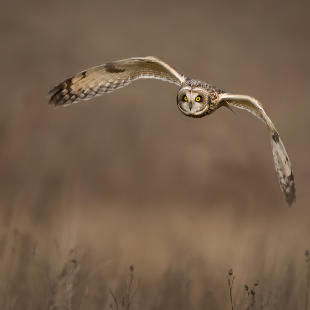 """A Short Eared Owl in flight"" stock image"