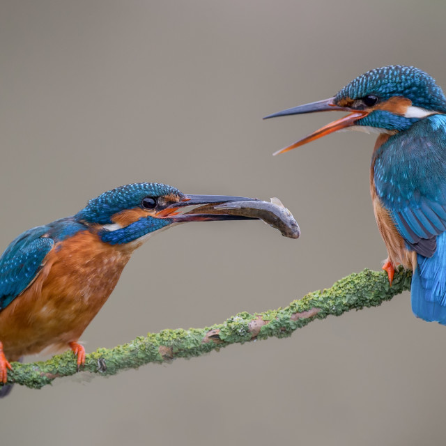 """Two kingfishers"" stock image"