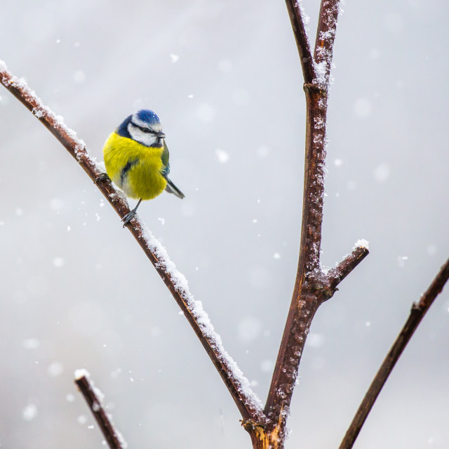"""Blue Tit in the snow"" stock image"