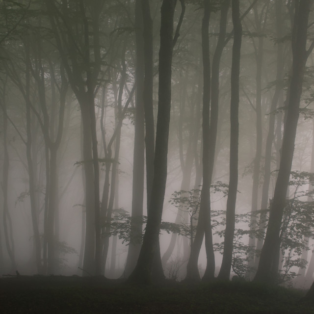 """Mist Forest"" stock image"