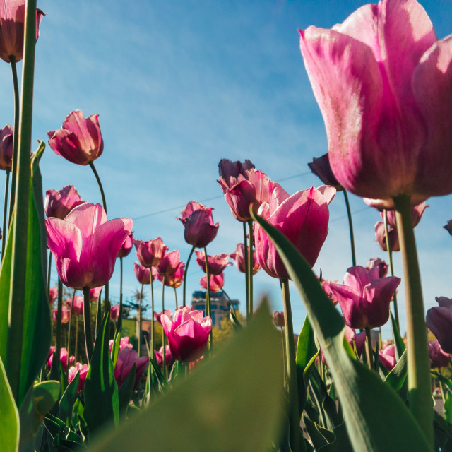 """Pink tulips filled with sunlight"" stock image"