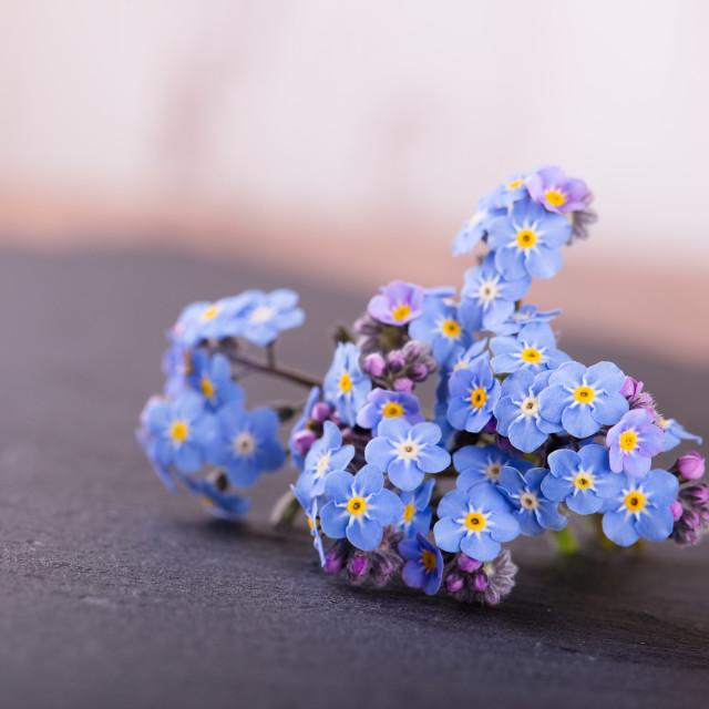 """Myosotis forget-me-not flower placed on slate stone"" stock image"