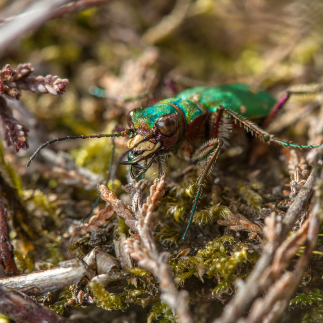"""Green Tiger Beetle (Cicindela campestris)"" stock image"