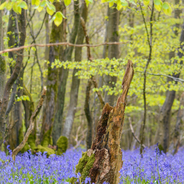 """Bluebell forest -"" stock image"