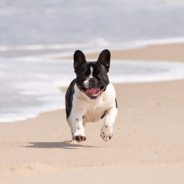 """French bulldog on the beach"" stock image"