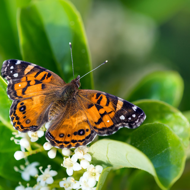 """""""American Painted Lady butterfly (Vanessa virginiensis)"""" stock image"""