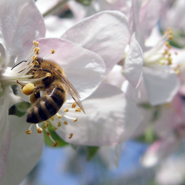 """Bee on The Blossom"" stock image"