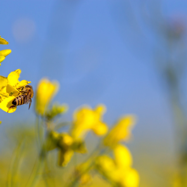 """bee and rape flower"" stock image"