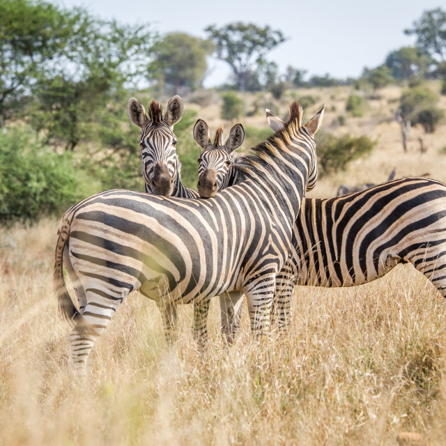 """Bonding Zebras in the Kruger National Park."" stock image"