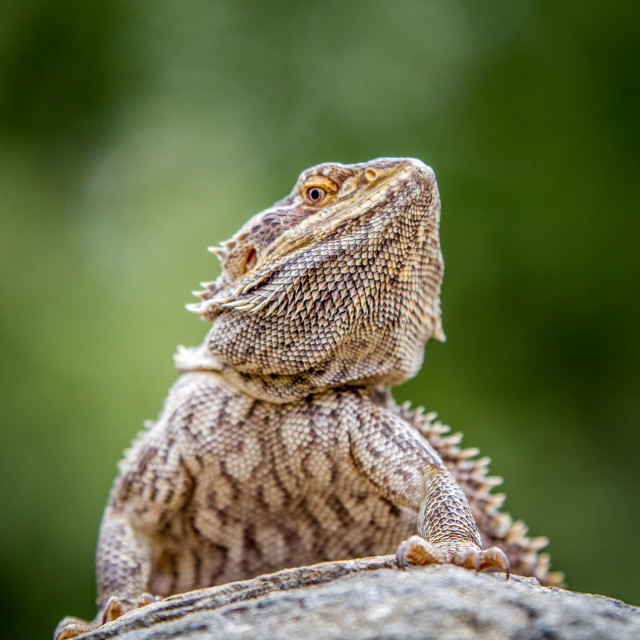 """""""Bearded dragon on a rock."""" stock image"""