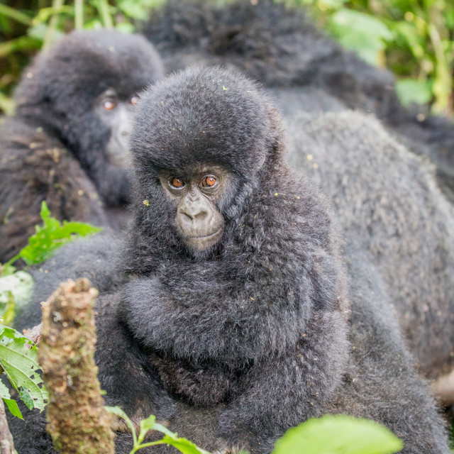 """Baby Silverback Mountain gorilla in the Virunga National Park."" stock image"
