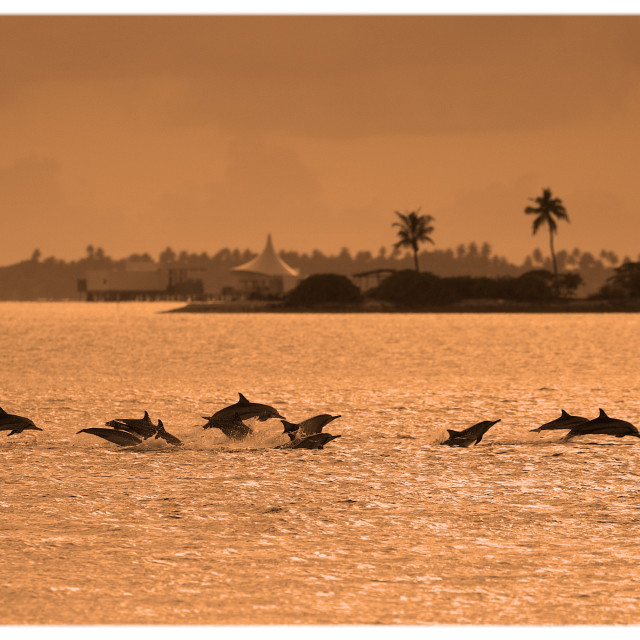 """Spinner Dolphin Pod"" stock image"