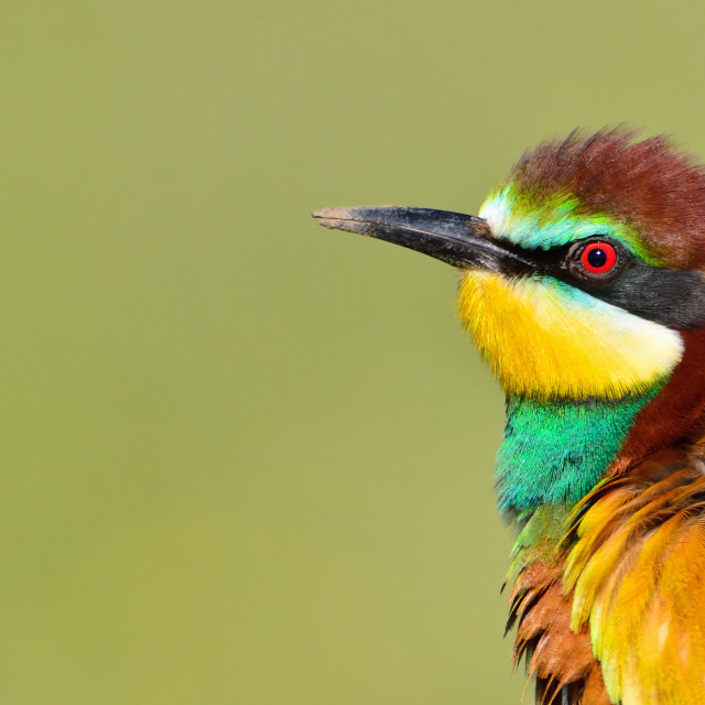 """European bee-eater (Merops apiaster)."" stock image"