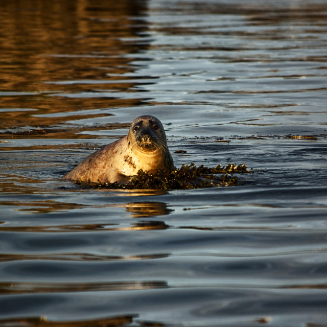 """young seal in the water"" stock image"