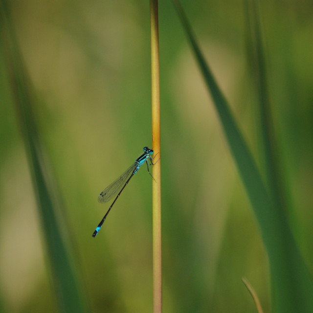 """blue damselfly"" stock image"