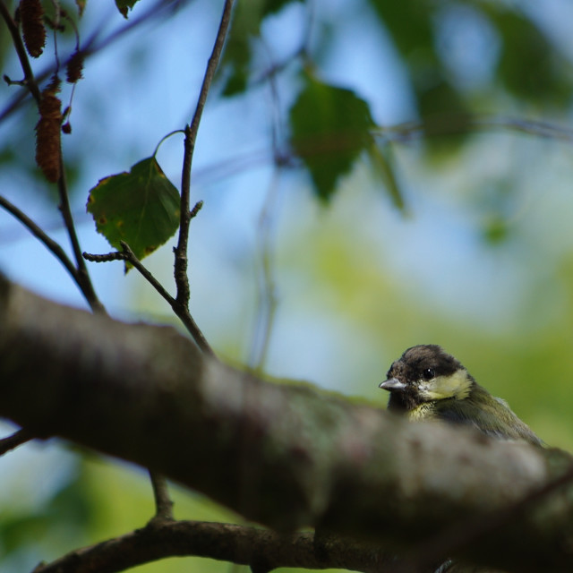 """Great tit in a tree"" stock image"