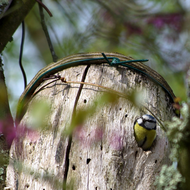 """blue tit in a nest box"" stock image"