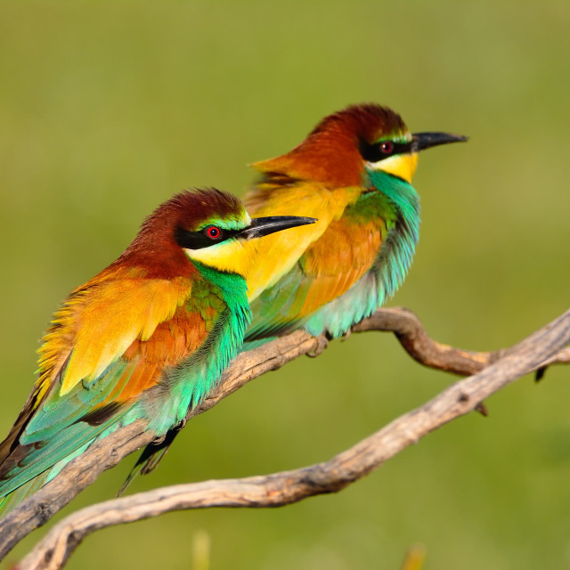 """Pair of european bee-eater (Merops apiaster)."" stock image"