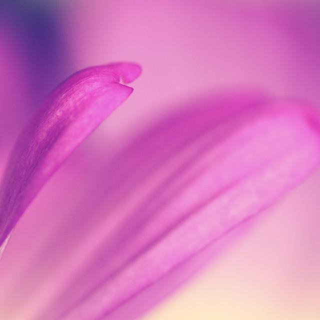 """""""Daisy petals"""" stock image"""