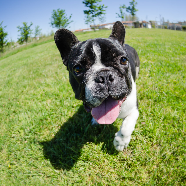 """French bulldog on green grass"" stock image"