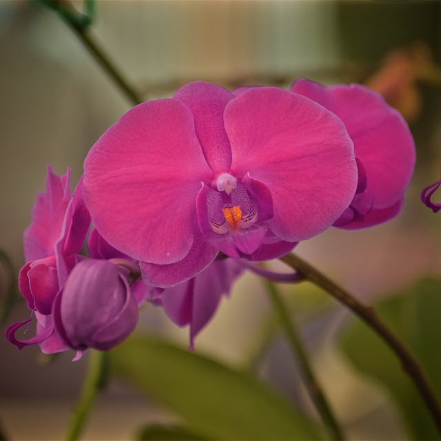 """Moth Orchid in Bloom"" stock image"