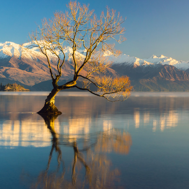 """The Lonely Tree and The snow clad Buchanan Peaks .."" stock image"