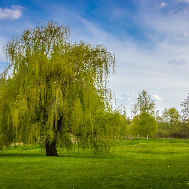 """""""Springtime - Weeping Willow"""" stock image"""