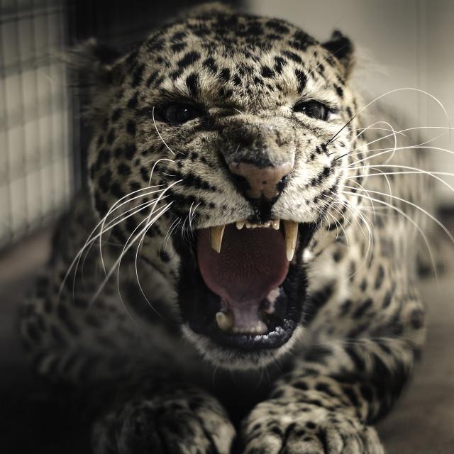 """""""macan tutul"""" stock image"""