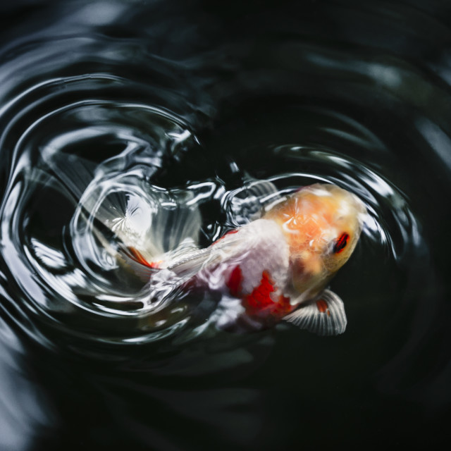 """goldfish"" stock image"