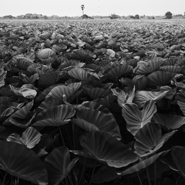 """Taro Fields"" stock image"