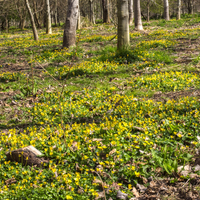 """Lesser Celandine in woodland"" stock image"