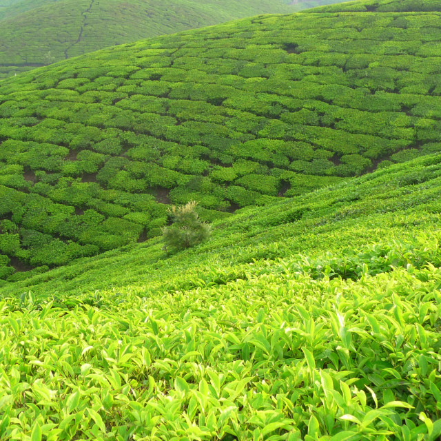 """Green Tea"" stock image"