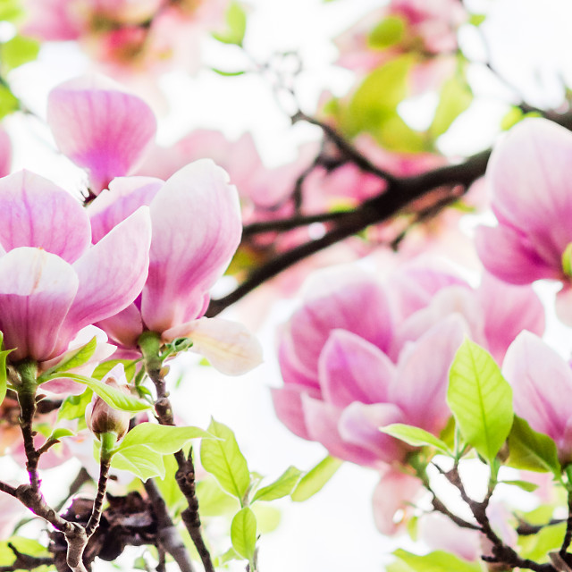 """magnolia soulangeana blossoming, spring time"" stock image"