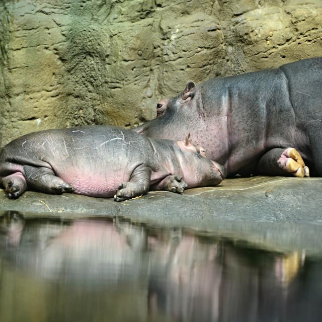 """hippopotamus in Prague ZOO"" stock image"