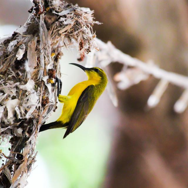 """Nesting Sunbird"" stock image"