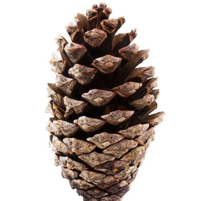 """Pine cone"" stock image"