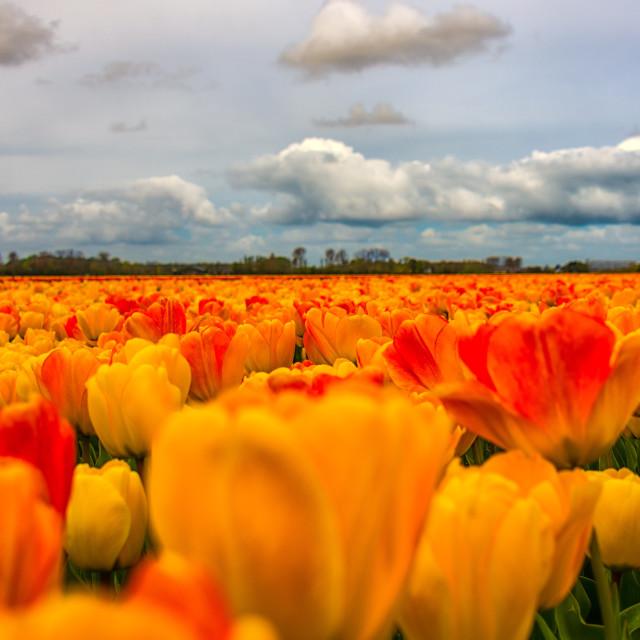"""orange tulips field"" stock image"