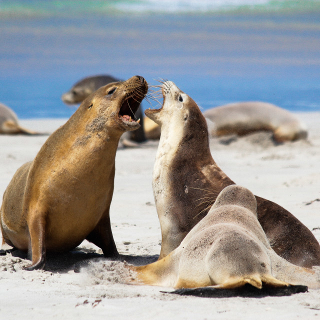 """Australian Sea Lions"" stock image"
